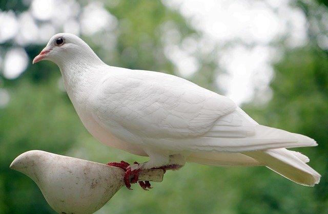 Bílá holubice